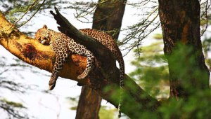 1-sarova-lion-hill-leopard-in-tree-480
